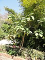 Cyphomandra betacea - Val Rahmeh - DSC04458.JPG