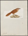 Cyphorhinus unirufus - 1820-1860 - Print - Iconographia Zoologica - Special Collections University of Amsterdam - UBA01 IZ19200457.tif