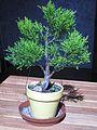 Cypress bonsai D1207.jpg