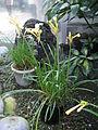 Cyrtanthus mackenii1.jpg