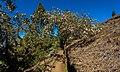 Cytisus proliferus - La Palma 01.jpg