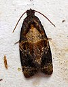DSC06109 British Moths (Red-barred Tortrix).jpg