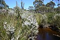 DSC 6235 Leptospermum continentale, Bull Creek, Shackle Road, Flinders Chase National Park, Kangaroo Island, South Australia (30760496863).jpg