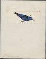 Dacnis coerebicolor - 1820-1860 - Print - Iconographia Zoologica - Special Collections University of Amsterdam - UBA01 IZ19000375.tif