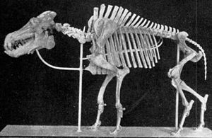 Entelodont - Daeodon skeleton