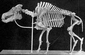 Entelodont - Daeodon skeleton