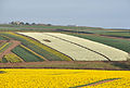 Daffodil fields at Tregantle 3.jpg