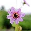 Dahlia merckii-IMG 4644.jpg