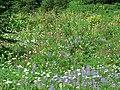 Daisy, lupine, bracted lousewort, paintbrush (500e8a2ee24148ffbb83998dfe648586).JPG