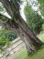 Další strom u vrat zámku.jpg