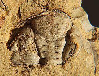 <i>Dalmanites</i> genus of trilobites