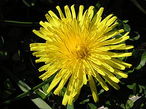 English: Dandelion flower (Taraxacum officinal...