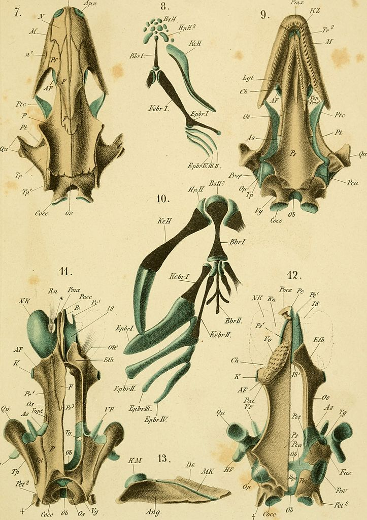 File:Das kopfskelet der urodelen; ein beitrag zur vergleichenden ...