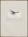 Dasylophus cumingii - 1872 - Print - Iconographia Zoologica - Special Collections University of Amsterdam - UBA01 IZ18800341.tif