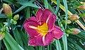 Day Lily (10602676374).jpg