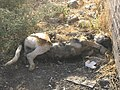 Dead Dog - Near Hakim Hospital of Nishapur 4.JPG