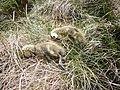 Dead goslings, Dufton Fell - geograph.org.uk - 1901049.jpg