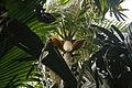 Deckenia nobilis.jpg