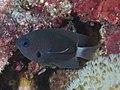Deep reef chromis (Chromis delta) with parasite (48652156867).jpg