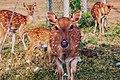 Deer,trinco town.jpg