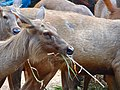 Deer at Guindy Childrens Park, Chennai. - panoramio.jpg