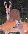 Deer at Mentor Marsh Nature Preserve (9594865313).jpg