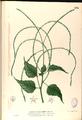 Deeringia amaranthoides Blanco2.236-original.png
