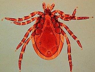 Ixodes scapularis - Deer tick