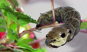 Deilephila elpenor 3.jpg