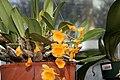 Dendrobium aggregatum 2zz.jpg