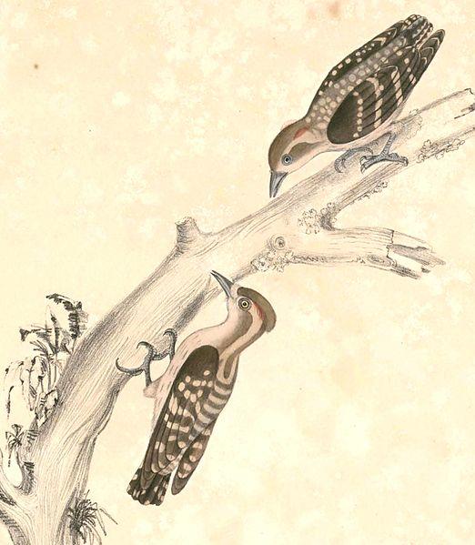 File:Dendrocopos moluccensis Hardwicke.jpg