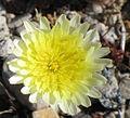 Desert dandelion Malacothrix glabrata close.jpg