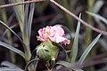 Dianthus caryophyllus Kristina 1zz.jpg