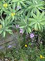 Dichopogon strictus (14180062314).jpg