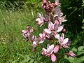 Dictamnus albus (8).jpg