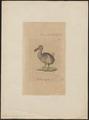 Didus ineptus - 1810 - Print - Iconographia Zoologica - Special Collections University of Amsterdam - UBA01 IZ15600007.tif