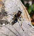 Digger Wasp. Sceliphron spirifex - Flickr - gailhampshire (2).jpg