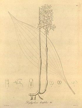 Diglyphosa latifolia - Xenia 1-80 (1858).jpg