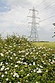 Dog Rose - geograph.org.uk - 191416.jpg