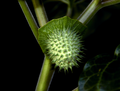 Downy thorn-apple fruit Datura metel.png