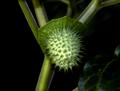 Downy thorn-apple fruit Datura metel.png