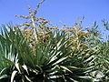 Dracaena draco (Puntagorda) 16 ies.jpg