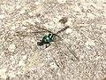Dragonfly in Mt. Isarog.jpg