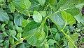 Dregea volubilis plant.jpg