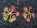 Drosera rotundifolia 001.JPG
