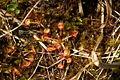 Drosera rotundifolia PID1313-1.jpg