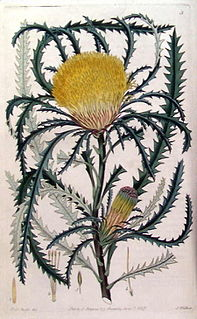 <i>Banksia prolata</i> Species of shrub in the family Proteaceae endemic to Western Australia