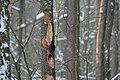 Dryocopus martius in the Teufelsbruch 2021-02-10 07.jpg