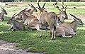 Dubbo Zoo (3147790307).jpg