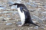 Due to a fast crossing of the Drake passage, we have a bonus landing at Turret Point on the S shore of King George Island.Chinstrap Penguins (Pygoscelis antarctica). (25369903743).jpg